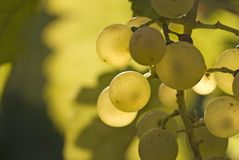White Riesling Grapes in September. Selective focus, shallow depth of field Stock Images
