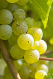 White Riesling Wine Grapes in the Vineyard Royalty Free Stock Photos