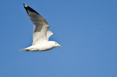 Ring-Billed Gull Flying in Blue Sky Royalty Free Stock Photography