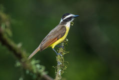 White-ringed Flycatcher Stock Photography