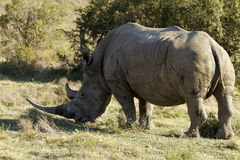 White rino eating some grass Royalty Free Stock Photography