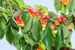 White ripe cherry berry fruits on the tree Stock Photos