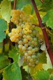 White ripe grapes closeup Royalty Free Stock Photography