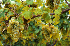 White ripe grapes horizontal Royalty Free Stock Images
