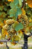 White ripe grapes vertical Stock Photos