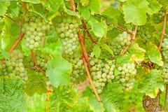 White ripe grapes in vineyard Stock Photo