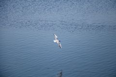 White river gull flying over the water. royalty free stock image