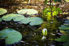 White River water lily and leaves Royalty Free Stock Image