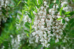 White Robinia pseudoacacia tree, False acacia, Black locust plant. White Robinia pseudoacacia, False acacia, Black locust Stock Images