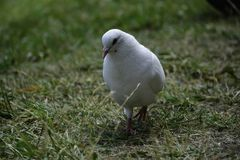 The white rock dove (columba livia) walks and looks for some food royalty free stock photo
