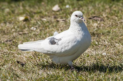 White rock feral pigeon doves Royalty Free Stock Photo