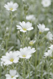 White rock flower Royalty Free Stock Photos