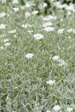 White rock flower Stock Images