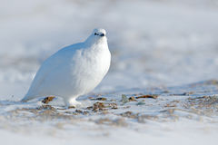 White Rock Ptarmigan, Lagopus mutus, white bird sitting on snow, Norway. Cold winter, north of Europe. Wildlife scene in snow. Whi Royalty Free Stock Photography