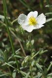 White Rock-rose. Helianthemum appeninum Stock Image
