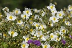 White Rock-rose. Helianthemum appeninum Stock Photos