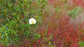 White  rockrose  Cistus ladanifer. Beautiful wild flower on a spring field - Alentejo, Portugal Stock Images