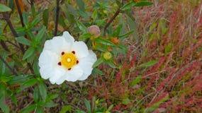 White  rockrose  Cistus ladanifer. Beautiful wild flower on a spring field - Alentejo, Portugal Stock Photography