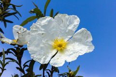 White rockrose staring at the sun Royalty Free Stock Photo