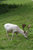 White roe deer. Wild roe deer without its markings stock image