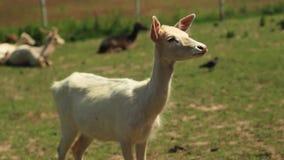 White ROE deer grazing on green grass stock video