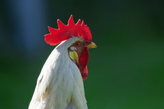 White rooster Royalty Free Stock Photography