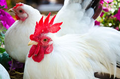 White Rooster. In farm.Agricultural industry Stock Photography