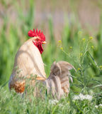 White rooster Royalty Free Stock Photo