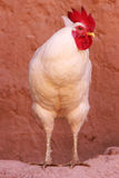 White rooster Stock Photography
