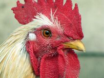 White Rooster Stock Images