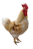 White rooster Royalty Free Stock Image
