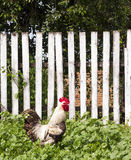 White rooster on against wooden fence near house. Summer rural yard with domestic white in green grass Stock Photography