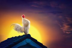 Free White Rooster Chicken Crowing On Roof And Beautiful Sunrise Royalty Free Stock Photography - 121171197
