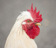 White rooster close up Stock Photography