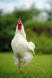 White Rooster (Cockerel) Royalty Free Stock Image