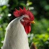 White Rooster (Cockerel) in Profile Royalty Free Stock Photography