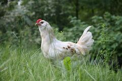 White rooster in green field