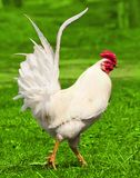 White rooster on the green grass Stock Images