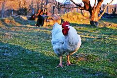 White Rooster on Green Grass Field stock photo