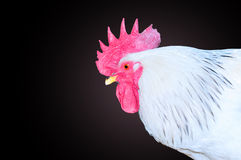 White rooster head on a black background Stock Photography