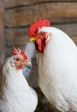 White rooster and hen. Couple Royalty Free Stock Photos