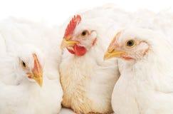 White rooster and hens. White rooster and hens on white background Stock Images