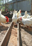 White rooster and hens are eating Stock Image