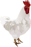White rooster illustration Stock Images