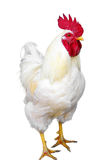 White rooster isolated. On a white background Stock Photography