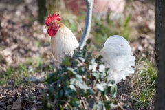 White rooster Royalty Free Stock Images