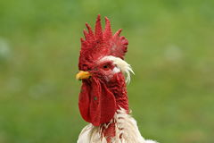 White rooster portrait Royalty Free Stock Photos