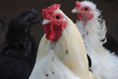 White rooster Stock Image