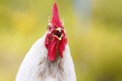 White rooster with a red comb Royalty Free Stock Photography