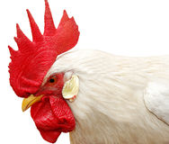 White rooster with red crest Royalty Free Stock Photo